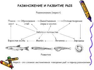 Особенности размножения и развития рыб.