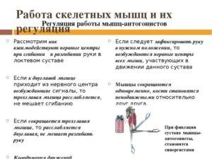 Работа скелетных мышц и их регуляция (конспект урока+лабораторная работа №4 Утомление при статической и динамической работе)