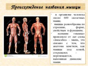 Урок биологии 8 класс. Мышцы, типы мышц, их строение и значение. Основные группы мышц человеческого организма. Работа мышц. Регуляция мышечных движений.
