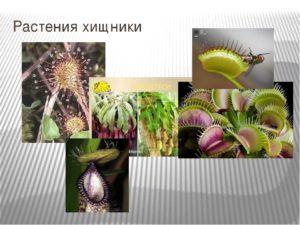 Информационный проект по биологии : Хищные растения
