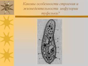 Строение и жизнедеятельность инфузории туфельки 7 класс