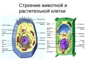 Практический проект по биологии Строение растительной и животной клетки