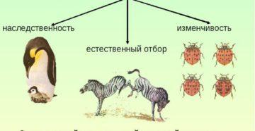 Тест по темам Факторы эволюции. Виды естественного отбора