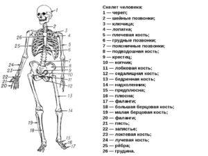 Скелет человека 8 класс
